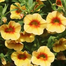 Superbells Apricot Punch Calibrachoa