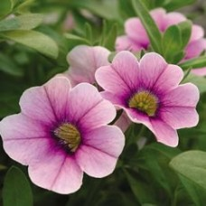 Calibrachoa - Superbells® Tickled Pink