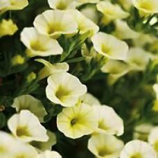 Calibrachoa Superbells® Yellow Chiffon