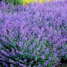 Catmint - Walkers Low