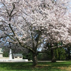 Cherry Tree - Early Richmond