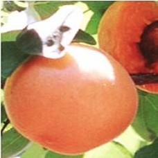 Apricot Tree - Chinese