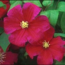 Barbara Harrington Clematis