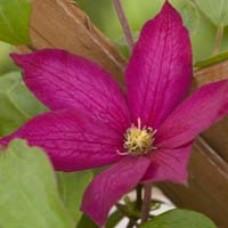 Clematis  Bourbon Flower