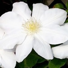 Clematis Candida Flower