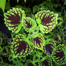 Coleus - Chocolate Drop