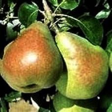 Pear Tree - Comice