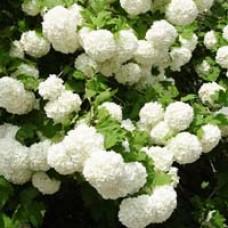 Common Snowball Bush Viburnum