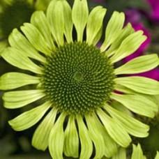 Green Jewel Coneflower