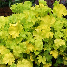 Coral Bells - Lime Rickey