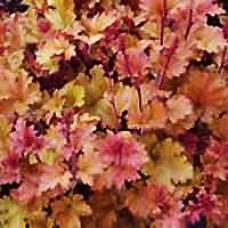 Coral Bells - Marmalade