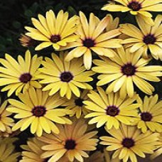 Daisy - Lemon Symphony