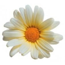 Daisy - Vanilla Butterfly