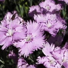 Dianthus - Baths Pink
