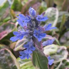 Ajuga Dixie Chip
