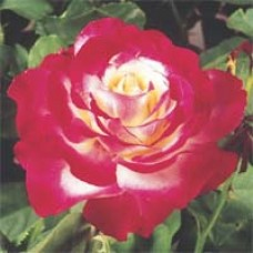 Double Delight Tea Rose