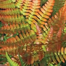 Fern - Autumn