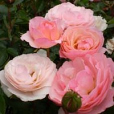 Easy Elegance Calypso Rose