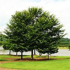 Lacebark Elm Trees