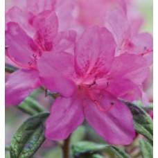 Autumn Amethyst Encore Azalea