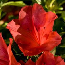 Autumn Sunset Encore Azalea
