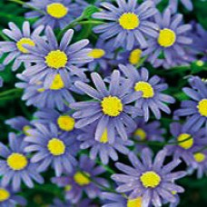 Daisy - Cape Town Blue