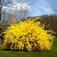 Lynwood Gold Forsythia