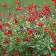 Furman's Red Salvia