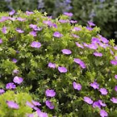 Geranium - New Hampshire Purple