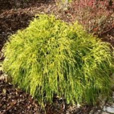 Golden Mop False Cypress Shrubs