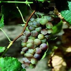 Grape - Frontenac Gris™