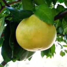 Grapefruit - Chandler