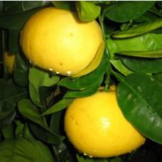 Grapefruit - Oro Blanco