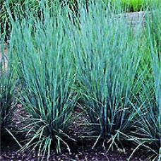 Grass - Prairie Blues Little Bluestem