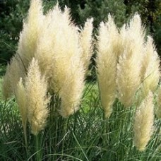 Pumila Dwarf Pampas Grass