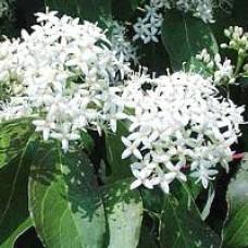 Dogwood - Grey Twig