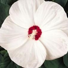 Hibiscus - Luna White