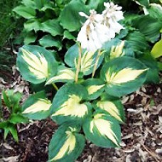 Hosta - Dream Weaver