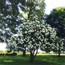 Hydrangea - Lime Light - Tree Form