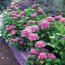 Hydrangea - Forever Pink