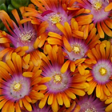 Ice Plant - Fire Spinner®