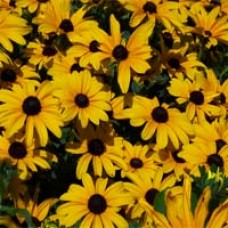 Indian Summer Black-eyed Susan