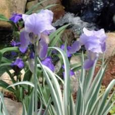 Argentea-variegata Iris