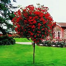 Red Knock Out Rose Tree