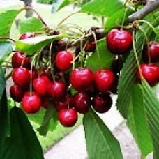Cherry Tree - Lapins