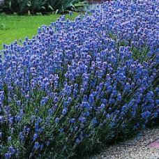 Lavender - English Munstead