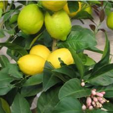 Lemon - Eureka