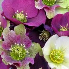 Royal Heritage Strain Lenten Rose