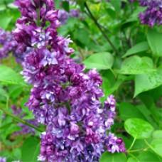 Lilac - Pocahontas