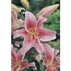 Mona Lisa Oriental Lily